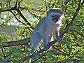 Young Vervet Monkey (Chlorocebus pygerythrus) (6888530274).jpg