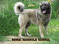 Young sarplaninac female from Romai Mandula Kennel, Hungary.jpg