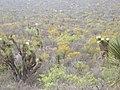Yucca australis.jpg
