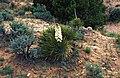 Yucca baileyi fh 1207 NM B.jpg
