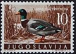 Yugoslavian stamp with Anas platyrhynchos 1958.jpg