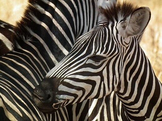 Zebras in Tanzania 0496 Nevit.jpg