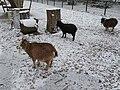 Ziegen im Tiergehege im Winter.jpg