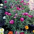 Zinnia-zahara-double-cherry-IMG 8407.jpg