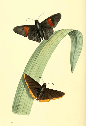 Zoological Illustrations Volume I Plate 61.jpg