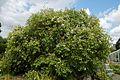 'Hoheria populnea' Lacebark in the Walled Garden of Goodnestone Park Kent England.jpg