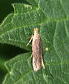 (0822) Scrobipalpa acuminatella (4578132737).jpg