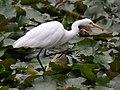 (1)Egret feeding 019.jpg