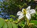 (Arya) muntingia calabura flower.jpg