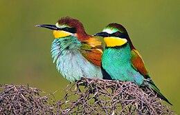 Bitininkas (paukštis) – Vikipedija