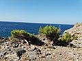Πεύκα (Pinus brutia) στην περιοχή Μονής Κουδουμά Ηράκλειο Κρήτης.jpg