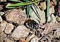 Бронзовка Tropinota squalida - Hairy rose beetle - Blatthornkäfer Tropinota squalida (25562705883).jpg