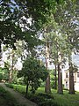 Група вікових дерев тополі білої 21.JPG