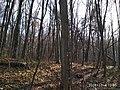 Еталонна діброва Вінницьке лісництво 5.jpg