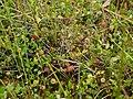 Журавлина та росичка на Черемському болоті.jpg