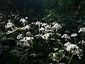 Козакова Долина. Цвітіння цибулі ведмежої.jpg