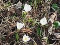 Крокус сетчатый в саду Травникова.jpg