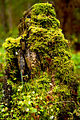 Лесной сторожила.jpg