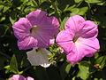 Растения в Седово 069.JPG