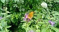Рябо-бабочка.jpg