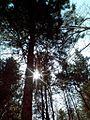 Сосны в Непейцевском парке.jpg