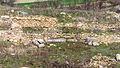 Тауресиум Ископини 9.jpg