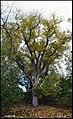 درختی با ابهت زیاد - panoramio.jpg