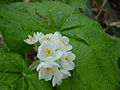 サンカヨウ(山荷葉)(Diphylleia grayi)-花 (6010492091).jpg