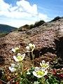 チシマクモマグサ(Saxifraga merkii Fisch. var. merkii) - panoramio.jpg