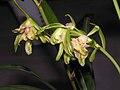 四季嶺南奇蝶 Cymbidium ensifolium 'Mountain South Odd Butterfly' -香港沙田國蘭展 Shatin Orchid Show, Hong Kong- (12146895225).jpg