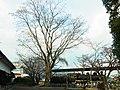 栴檀の木 五條史跡公園にて A chinaberry tree 2012.1.27 - panoramio.jpg
