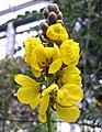 狹葉番瀉 Cassia angustifolia (Cassia senna) -阿姆斯特丹植物園 Hortus Botanicus, Amsterdam- (15317649936).jpg