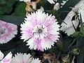 石竹 Dianthus chinensis -香港嘉道理農場 Kadoorie Farm, Hong Kong- (9447981799).jpg