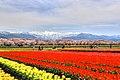 舟川の桜 - panoramio (8).jpg