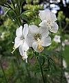 花荵 Polemonium caeruleum -波蘭 Krakow Jagiellonian University Botanic Garden, Poland- (36687350566).jpg