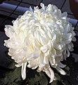 菊花-唐宇玉榮 Chrysanthemum morifolium -中山小欖菊花會 Xiaolan Chrysanthemum Show, China- (11962012636).jpg