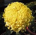 菊花-金葵向陽 Chrysanthemum morifolium 'Golden Sunflower Facing Sun' -中山小欖菊花會 Xiaolan Chrysanthemum Show, China- (12099660786).jpg