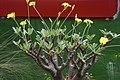 象牙宮 Pachypodium rosulatum var. gracilius - panoramio.jpg