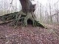 -2019-12-06 Ancient oak tree roots, Foxhills wood, Frogshall, Northrepps.JPG