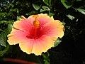 01735jfUnidentified Hibiscus cultivars Philippinesfvf 11.JPG