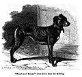 181. Greyhound x Bulldog first cross.JPG
