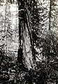 1932. Blue stain in ponderosa pine which was not associated with insects. Sisters, Oregon. (36112219893).jpg