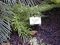 20040413 Pteris dentata.JPG