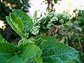 2006-10-22Alcea rosea01.jpg