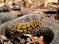 20100416160801 Northern Water Snake (Nerodia sipedon sipedon) - Bald Mountain RA.jpg