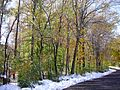 2011-10-30 03-Trees along Pleasant Valley Road in Hopewell Township, Mercer County, New Jersey after 6 to 7 inches of snow fell the previous day during the 2011 Halloween nor'easter.jpg