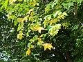 20120915Acer platanoides3.jpg