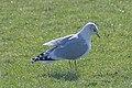 20140302 095 Kessel Weerdbeemden Stormmeeuw (12886631805).jpg