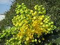 20140317Mahonia aquifolium1.jpg