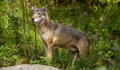 20140812 WOLF IMG 1043.png